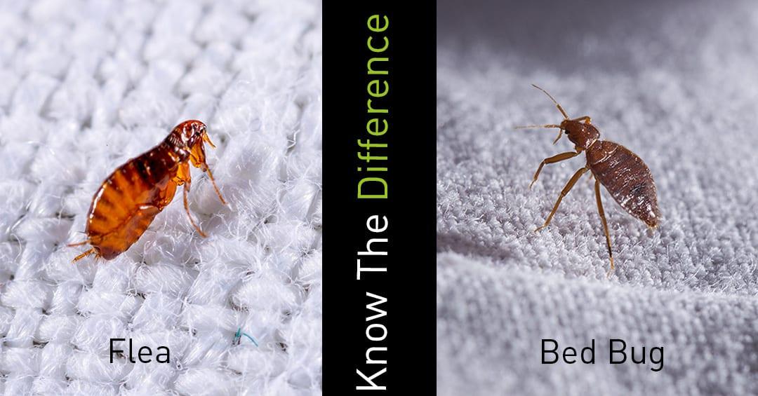 Flea V Bed Bug