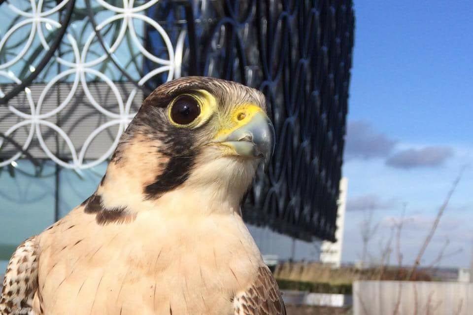 Birmingham bird control
