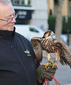 Urban falconry