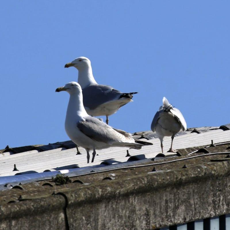 nesting gulls